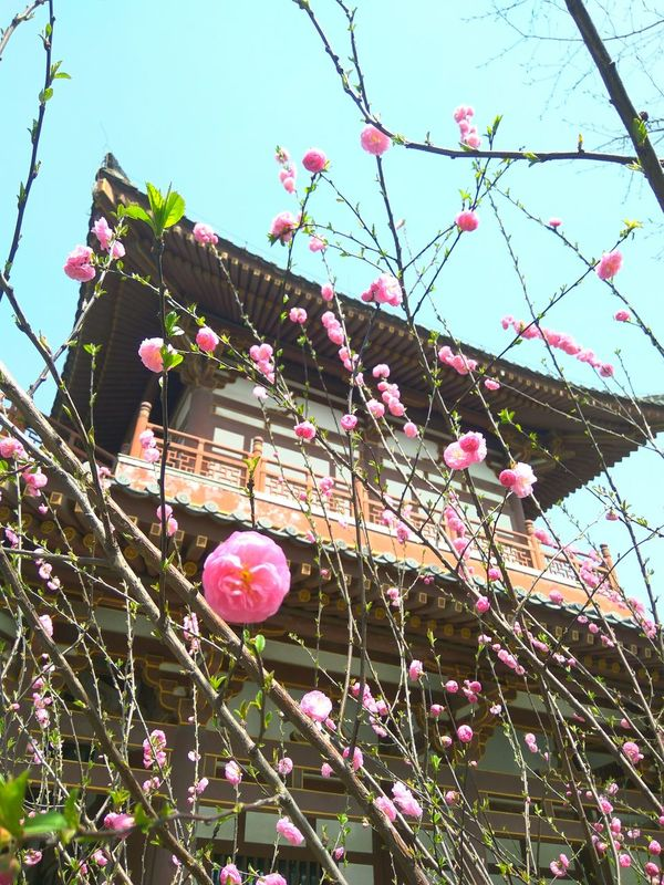Pink Color Flower Beauty In Nature Springtime Blossom Built Structure Architecture Sky Outdoors Growth
