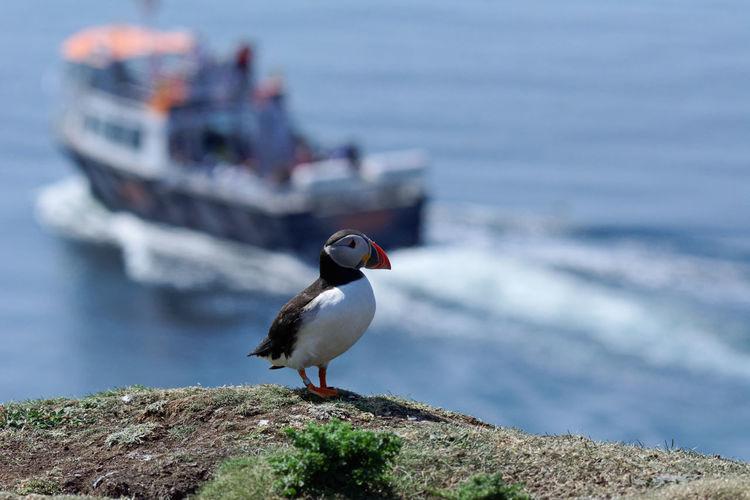 EyeEmNewHere Animal Wildlife Animals In The Wild Bird Focus On Foreground Nature One Animal Outdoors Puffins Sea Water