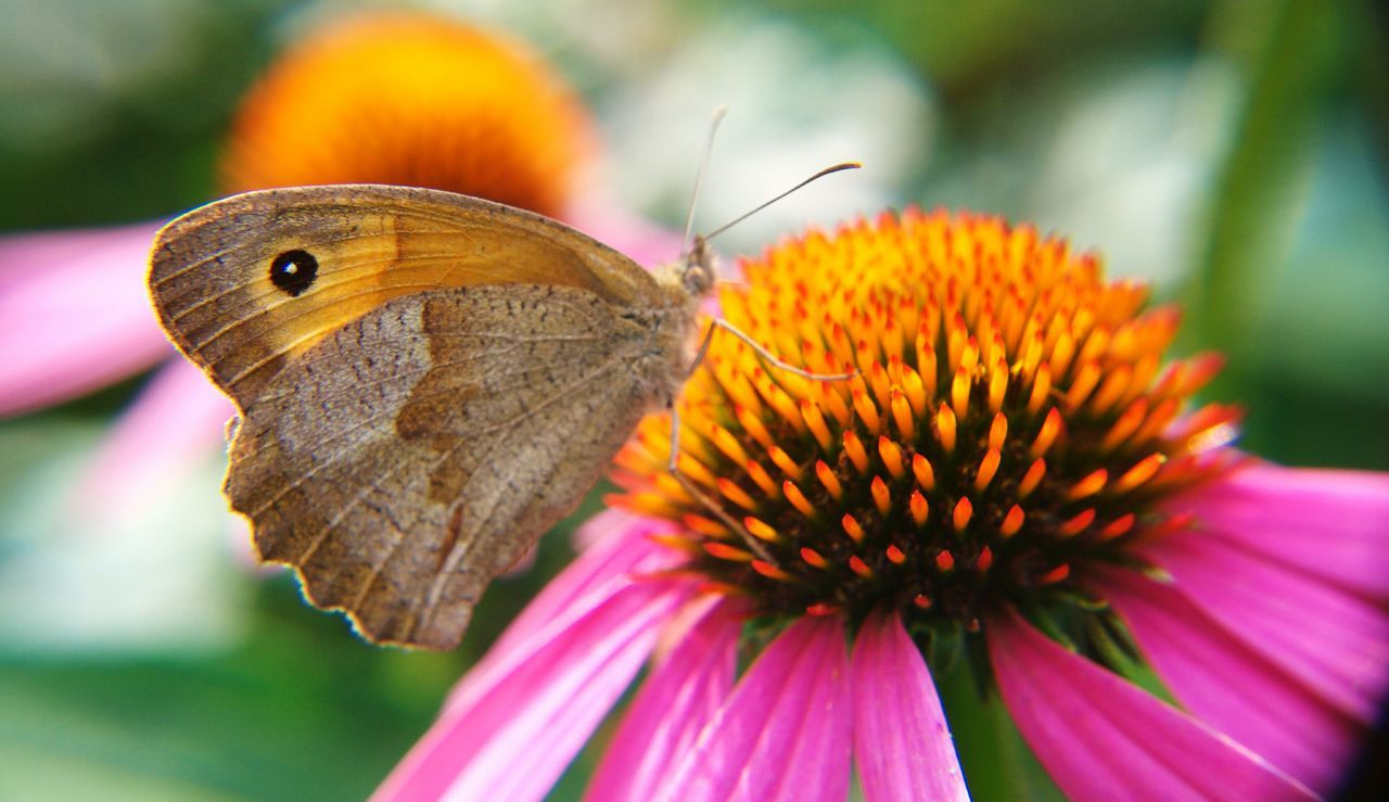 Flower Fragility Close-up Plant Insect Purple Nature Beauty In Nature Animal Themes One Animal Pollen Butterfly - Insect Flower Head No People Day Outdoors Freshness