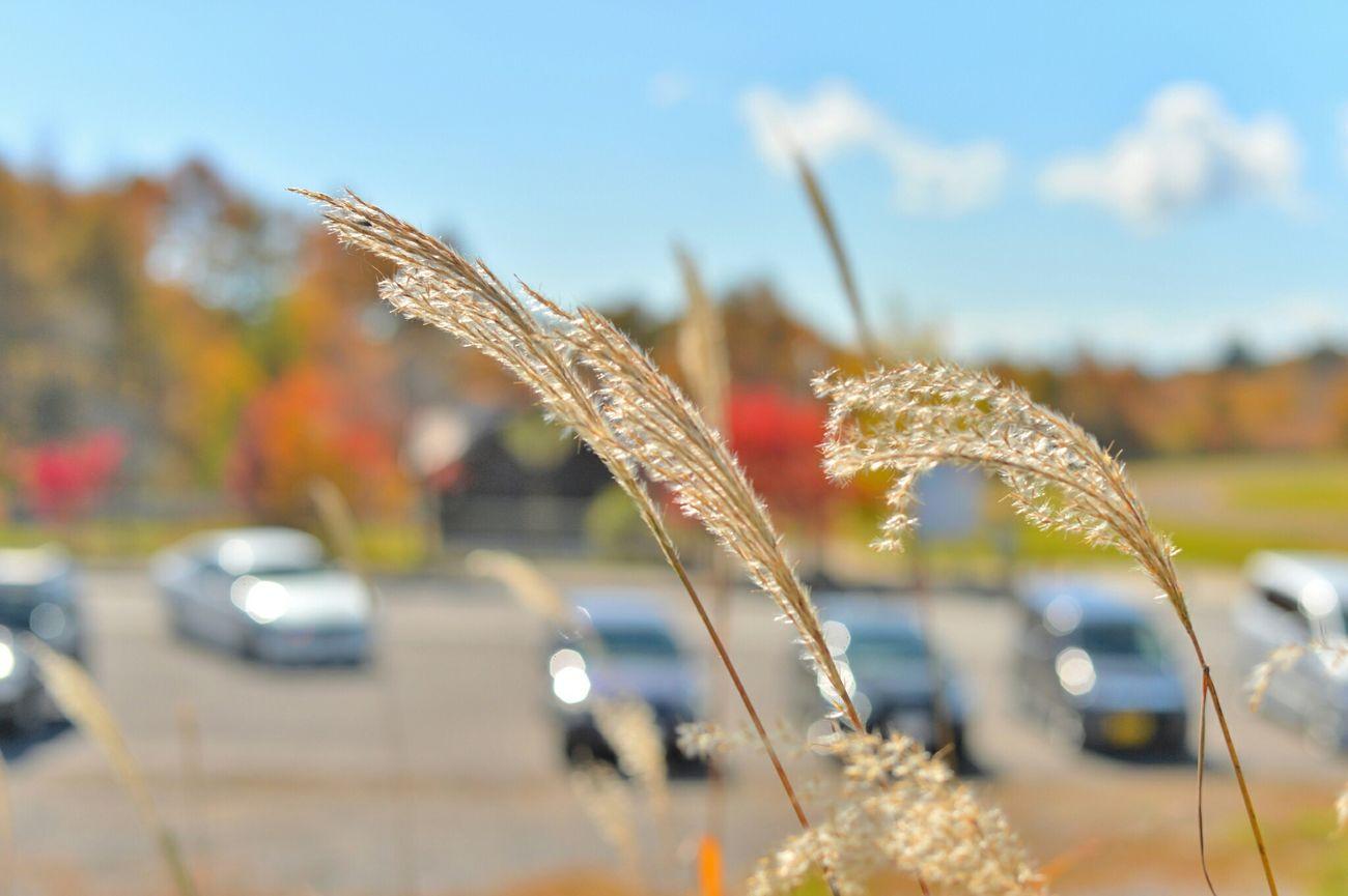 Autumn🍁🍁🍁 Silvergrass Wind Sunny Day Carpark