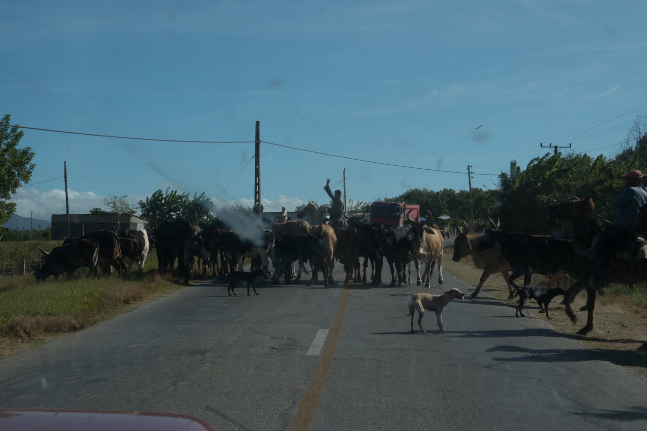Cowboys Cows Cows On The Street Cuba Cuba Collection Day Domestic Animals Herd Of Cows Mammal Outdoors Road Sky Tree