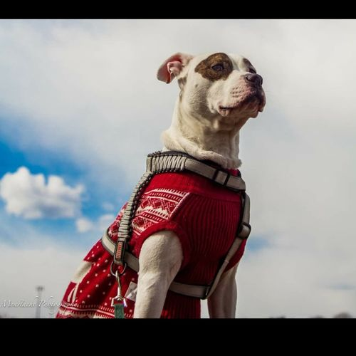 One Animal Red Animal Themes Dog Cloud - Sky Pets Pet Clothing Indoors  No People Sky Mammal Cowboy Hat Day Field Pitbull Love Domestic Animals White Color Nature Animal Wildlife Focus On Foreground Pitbullsofinstagram PitBullNation Sweatervest Pitbull Indoors