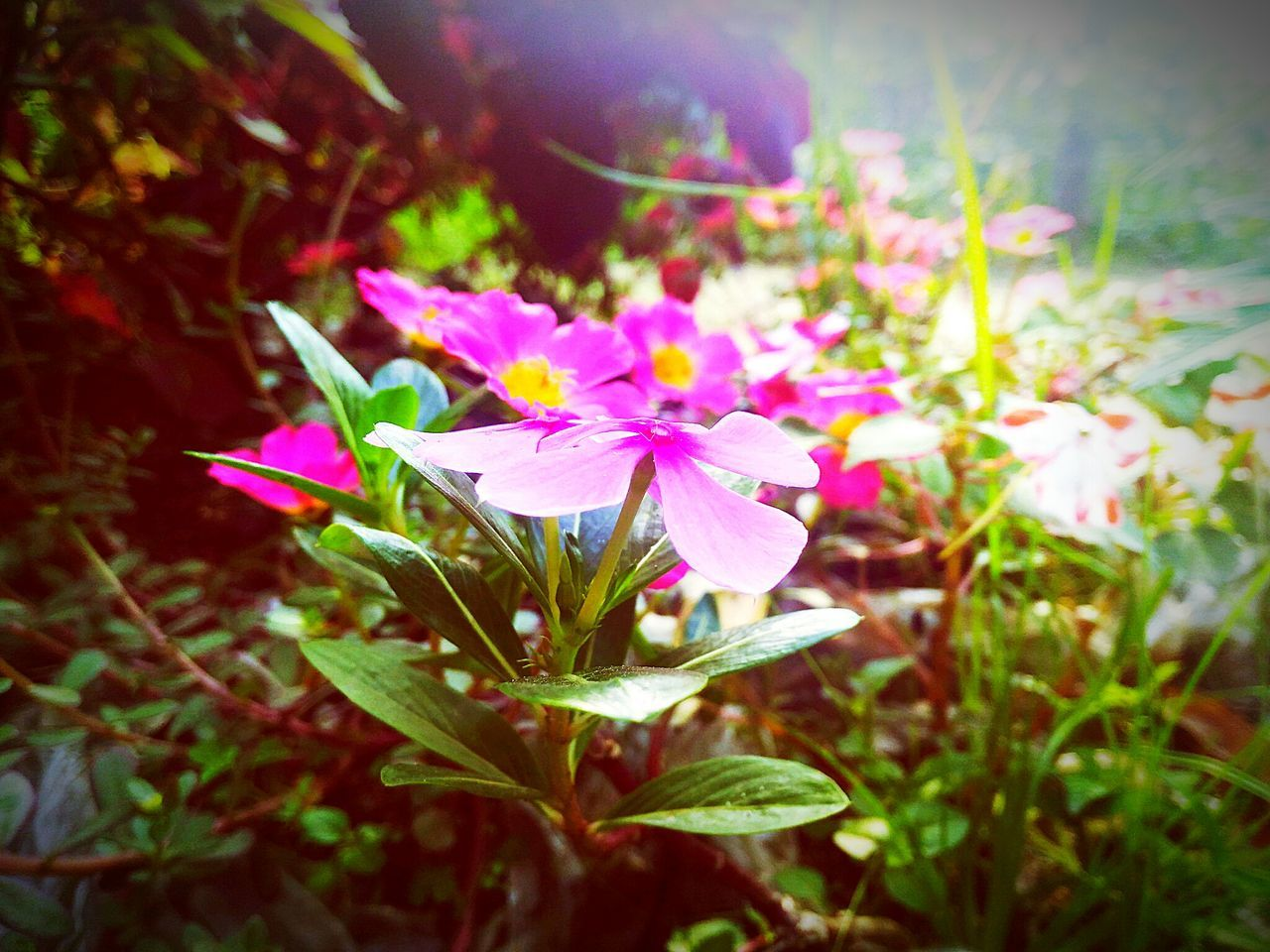 flower, growth, petal, nature, beauty in nature, fragility, plant, no people, freshness, flower head, blooming, leaf, pink color, outdoors, day, close-up, periwinkle
