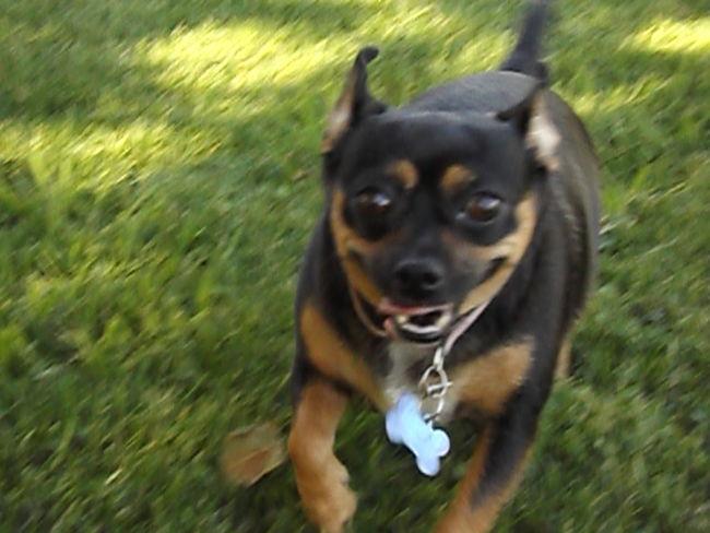 Black And Brown Dog Dog Funny Dog Good Dog Happy Dog Pinkfire Artist Running Dog Small Dog