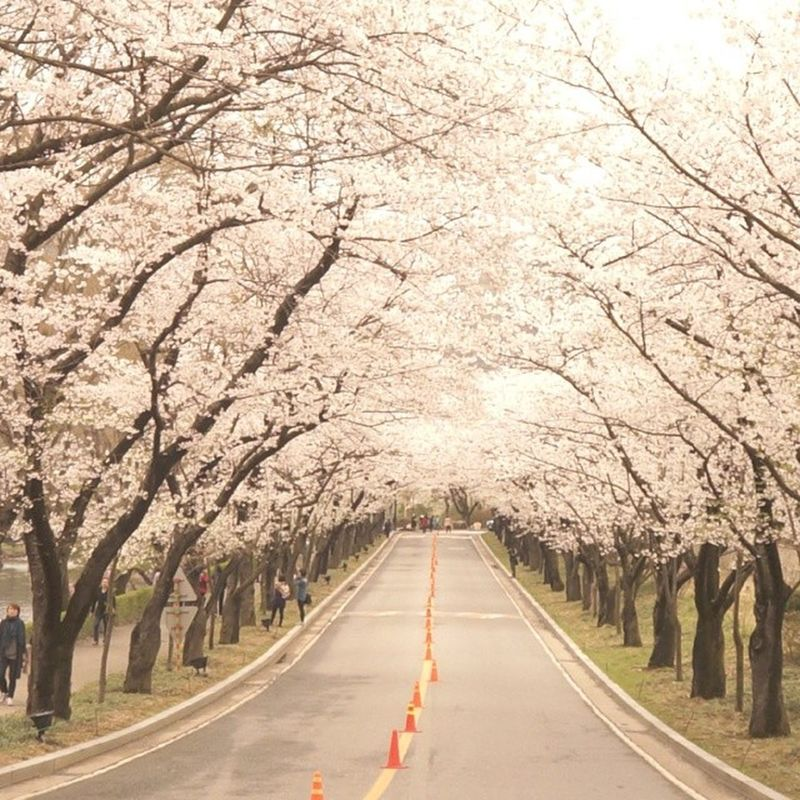 3월 벚꽃 사쿠라 サクラ sakura cherryblossm 꽃 cherry_blossom spring 봄 핑크 beautiful 기다려진다 comeon daily instadaily follow followme life nature