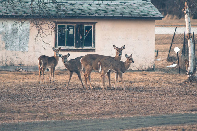 Alertness Animal Themes Country Country Life Countryside Day Deer Doe Domestic Animals Fawn Full Length Herd Mammal Nature On Your Doorstep Outdoors Showcase April Side View Standing Vintage Photo White Tail Deer Whitetail Deer Wildlife Wildlife & Nature Wildlife Photography Yearling