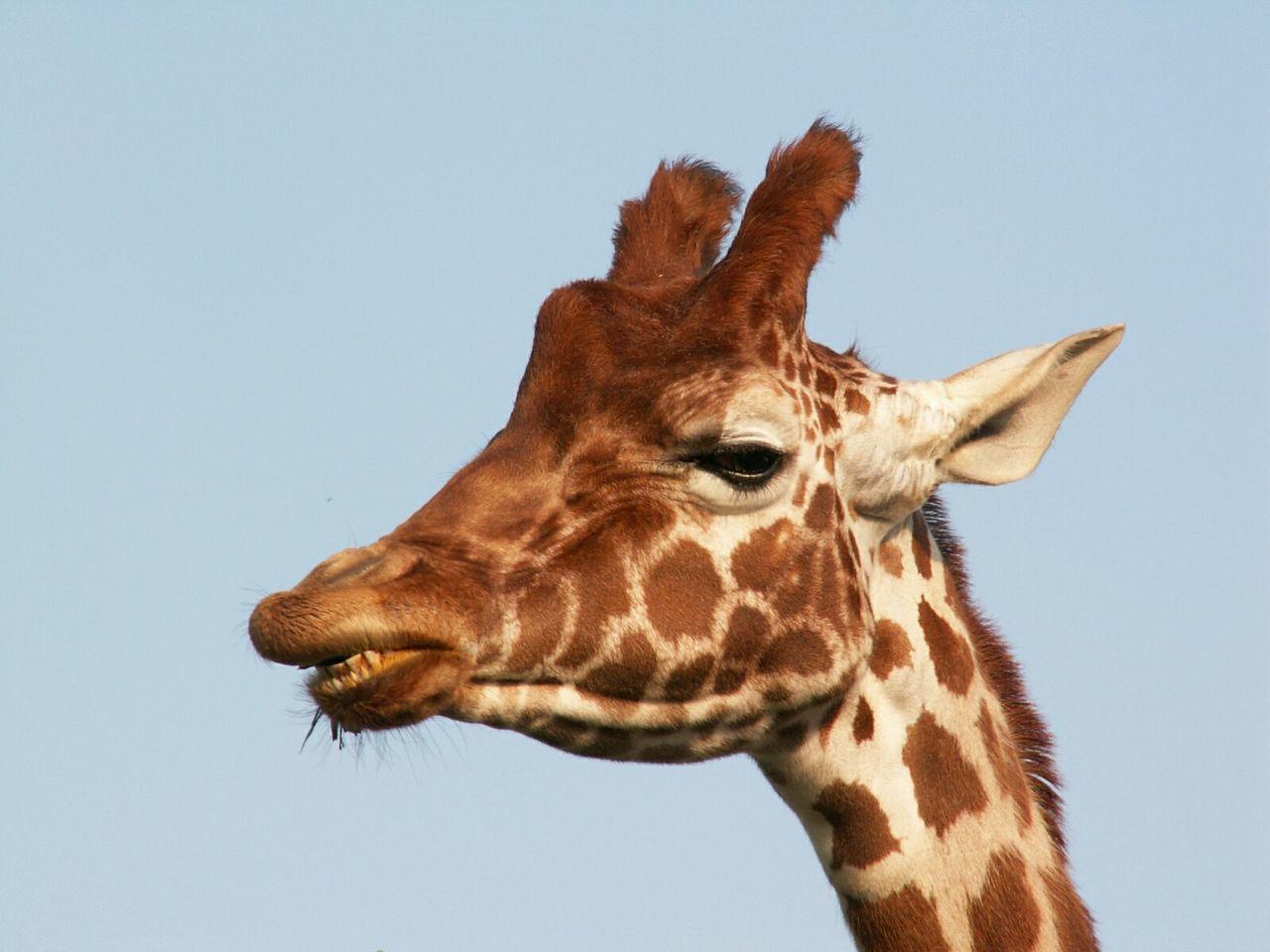 Beautiful stock photos of giraffe, Animal Head, Animal Markings, Animal Themes, Animals In The Wild
