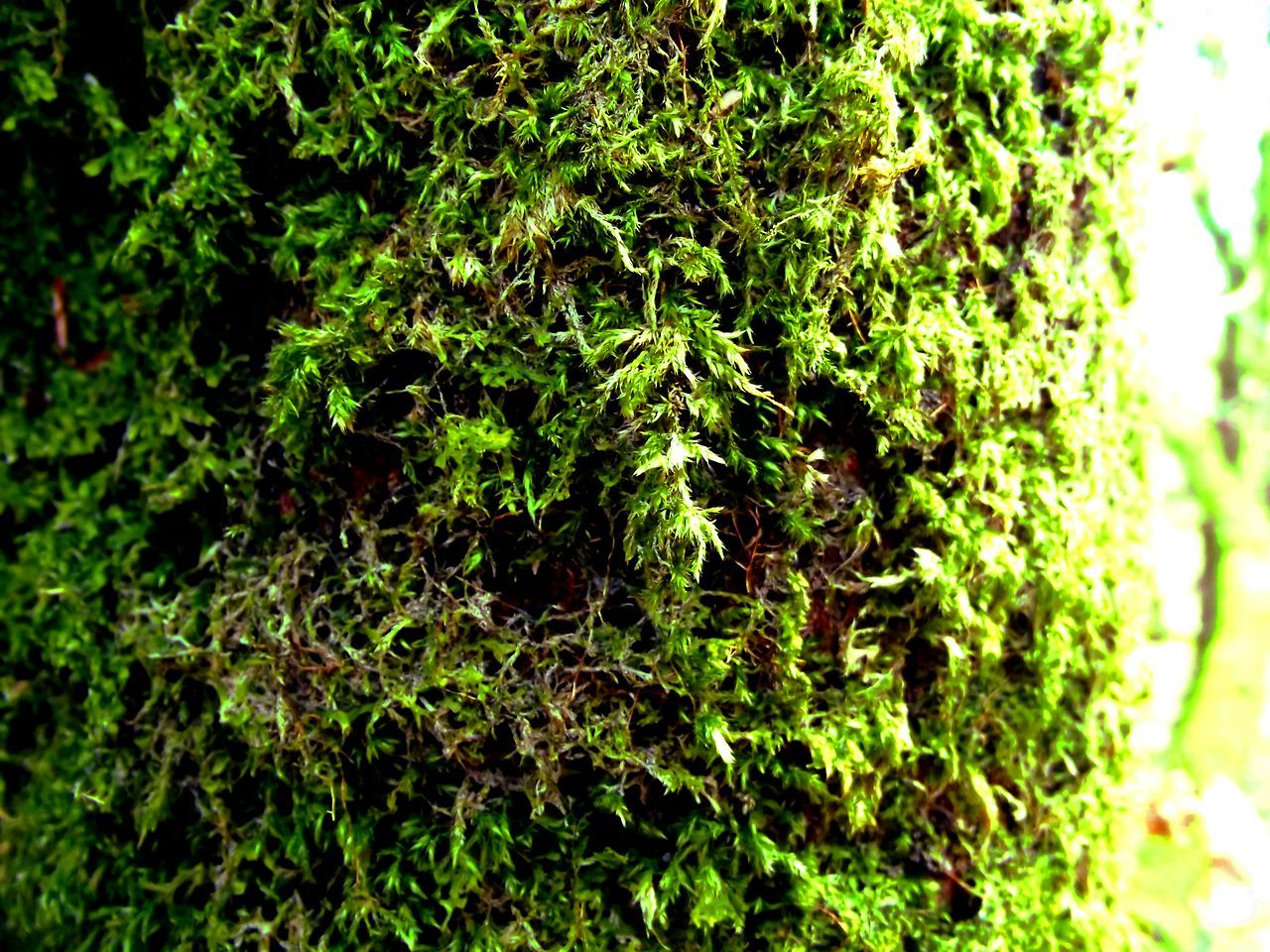 Bracklin Falls, Scotland, moss on a tree Growth Nature Green Color No People Plant Close-up Day Beauty In Nature Outdoors Macro Nature Green Moss On Trees Moss In Macro Mossy Forest Moss And Lichen Mossy Wood Mossy Trees