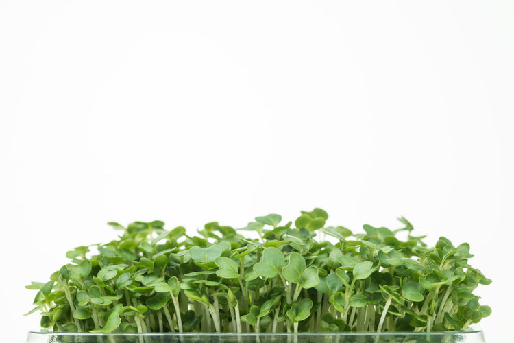 salad cres Cress Food And Drink Freshness Green Color Growth Leaf Plant Salad Salad Cress