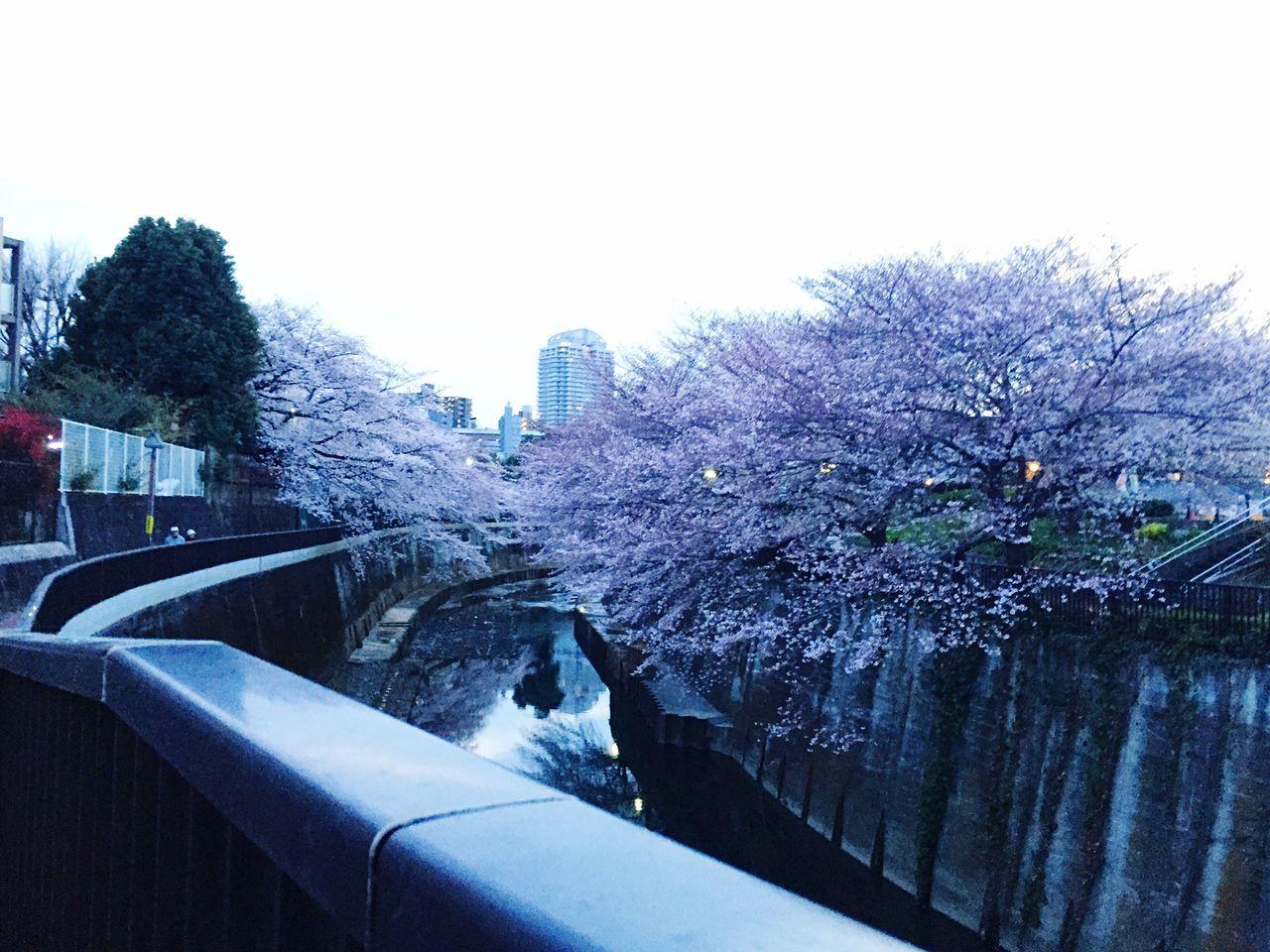 桜 サクラ サクラ Sakura Cherry Blossoms 川辺 Riverside 花見 Cherry-blossom Viewing 東京 Tokyo 滝野川 Takinogawa 日本 Japan 音無川 Otonashi River