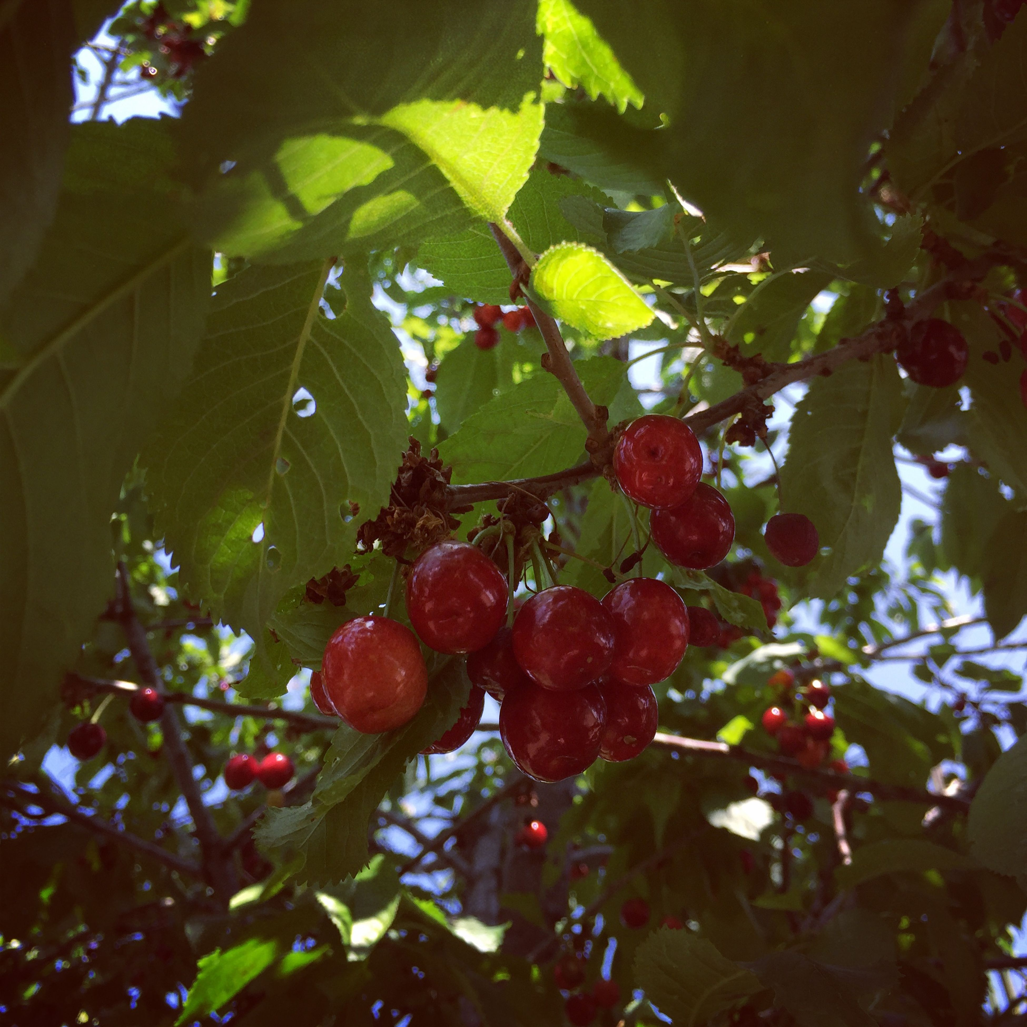 fruit, food and drink, branch, leaf, tree, food, growth, freshness, healthy eating, low angle view, berry fruit, hanging, close-up, ripe, nature, berry, green color, red, focus on foreground, day