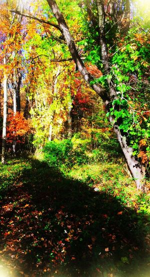 Fall 2016 Woodsview Tree Nature Beauty In Nature Autumn Change Tranquility Tranquil Scene Autumn Colors Non-urban Scene Scenics Outdoors Forest Iphonephotography