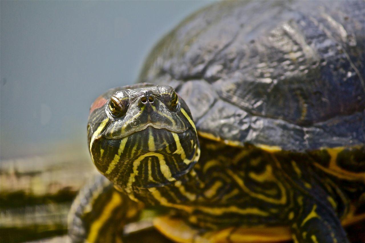 Beautiful stock photos of turtle, Amphibian, Animal Shell, Animal Themes, Animal Wildlife