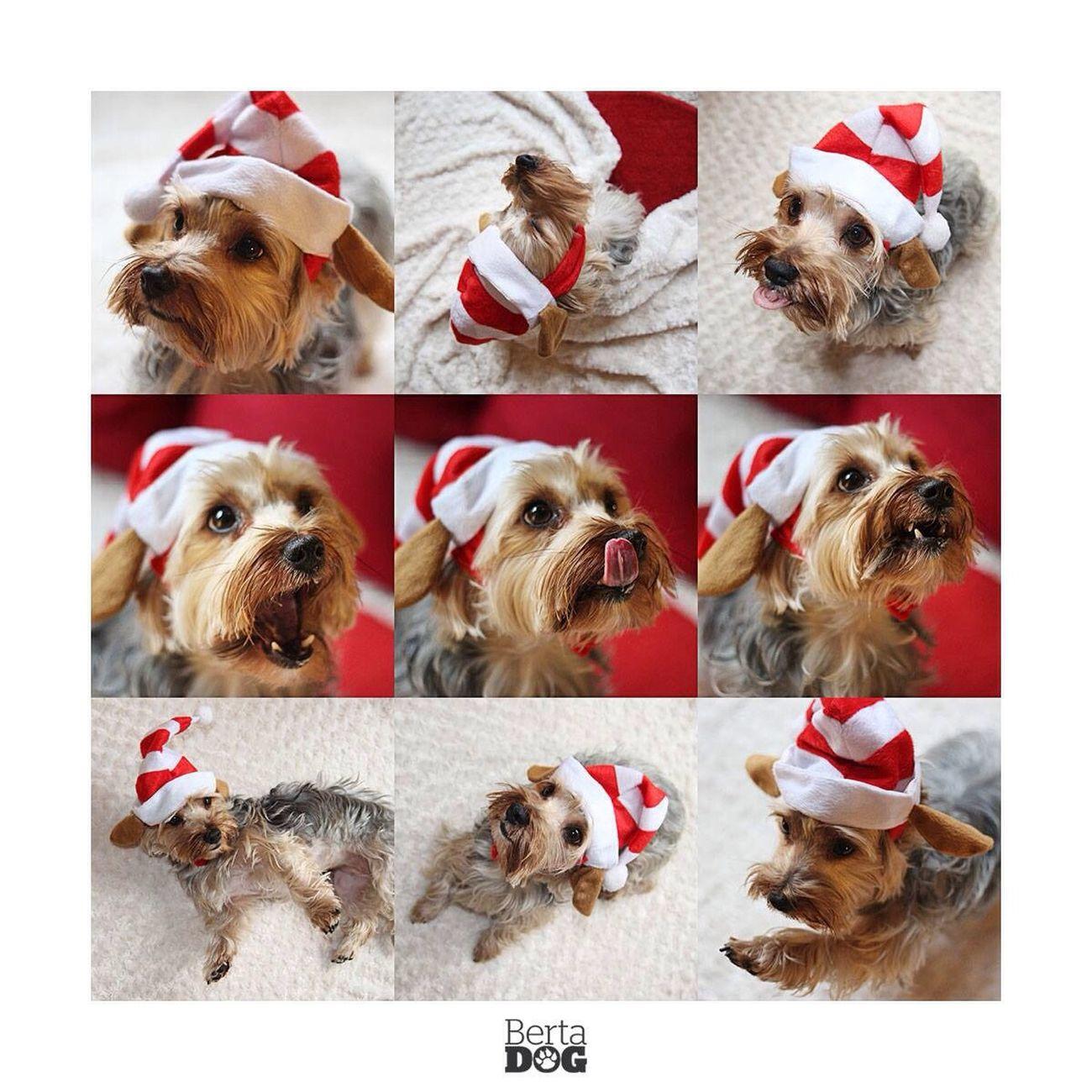 Dogs Yorkshire Navidad Christmas