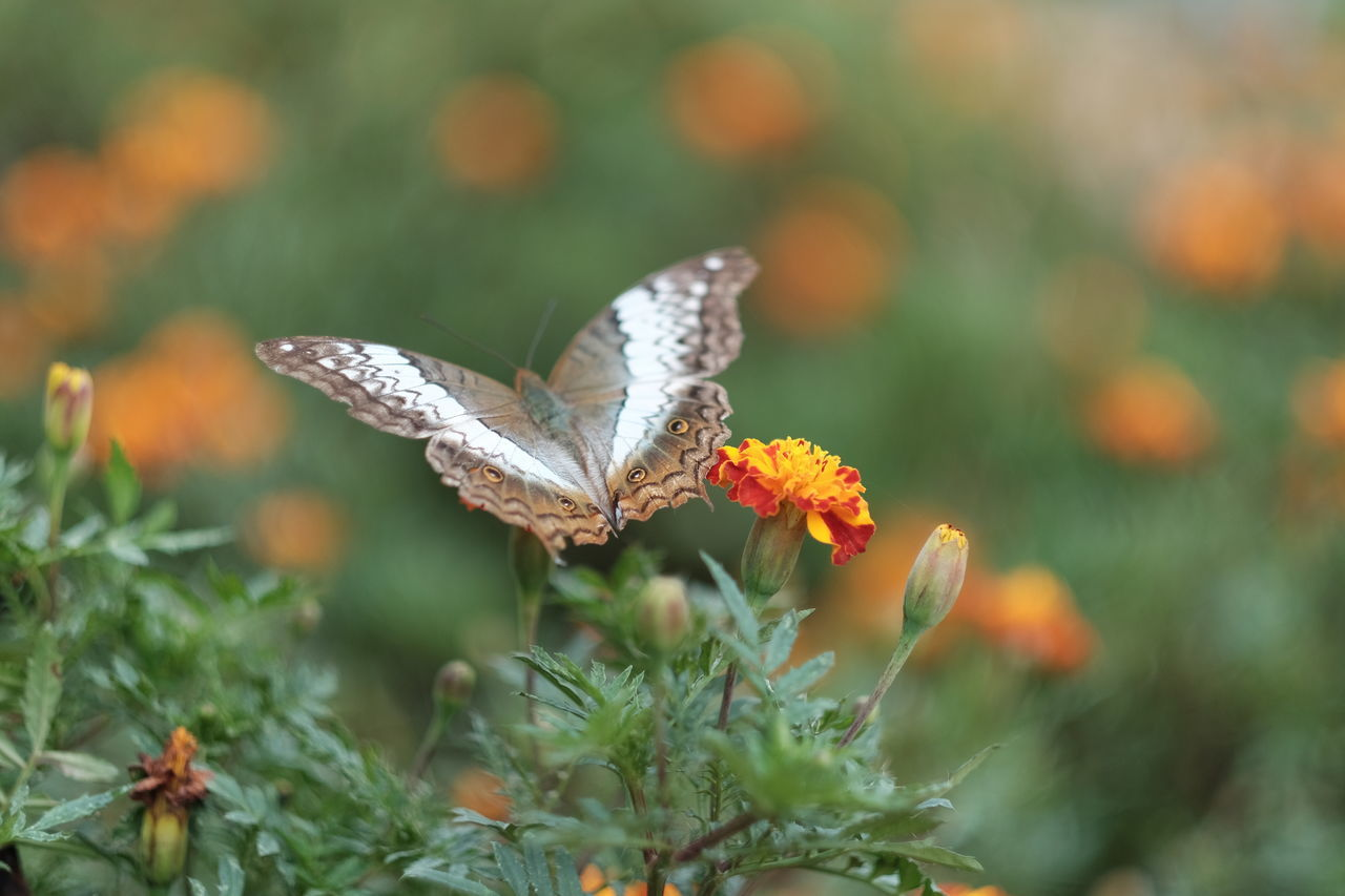 Animal Themes Animal Wildlife Animals In The Wild Beauty In Nature Butterfly Butterfly - Insect Close-up Day Flower Flower Head Focus On Foreground Fragility Freshness Growth Insect Leaf Nature No People One Animal Outdoors Plant Pollination Spread Wings