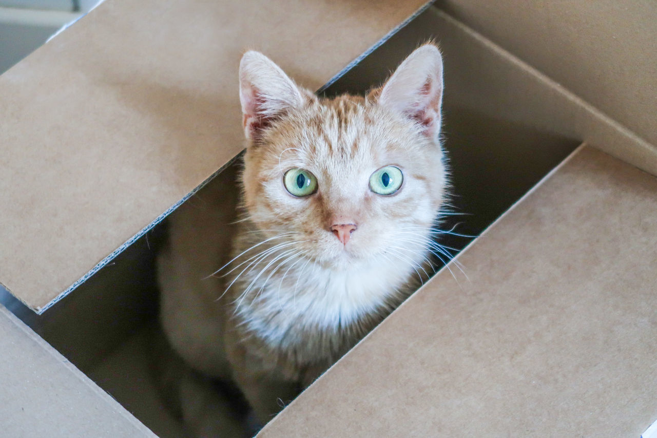 Red cat looking up hiding in a carton box Animal Themes Carton Box Day Domestic Animals Domestic Cat Feline Hiding Indoors  Looking At Camera Looking Up Mammal No People One Animal Pets Portrait Whisker