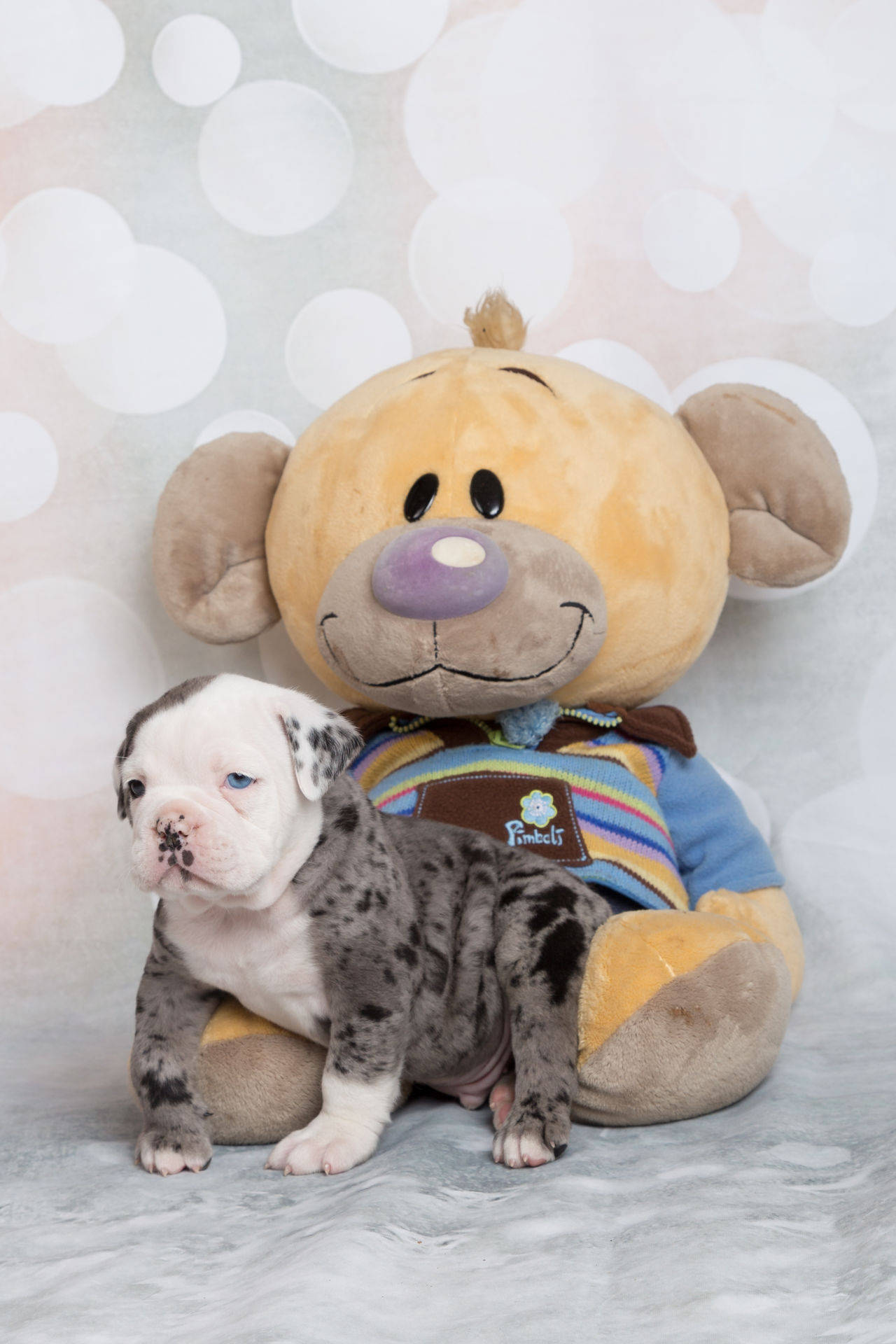 Animal Animal Themes Animals Baby Babydog Babydoggy Bulldog Cute Dog English Bulldog Love My Dog  OEB Old English Bulldog Pet Pets Stuffed Animal Stuffed Animal Friend Stuffed Animal Photo Shoot Sweet
