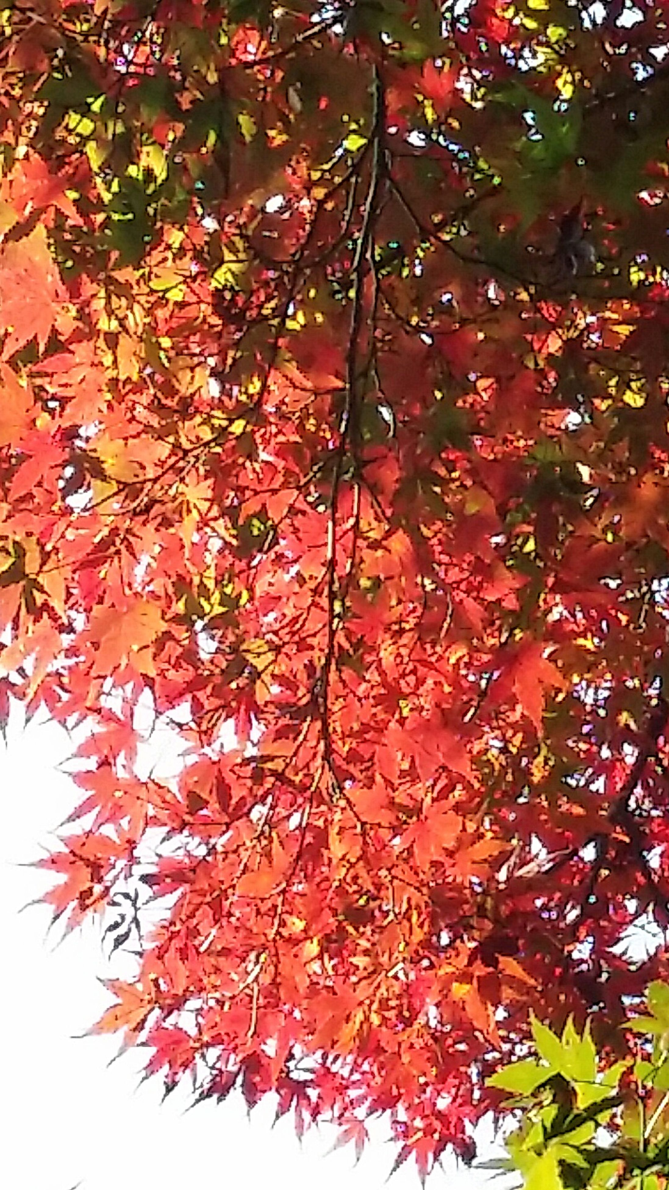 tree, nature, growth, beauty in nature, branch, leaf, orange color, autumn, change, low angle view, no people, red, outdoors, day, maple leaf, tranquility, close-up, sky, freshness