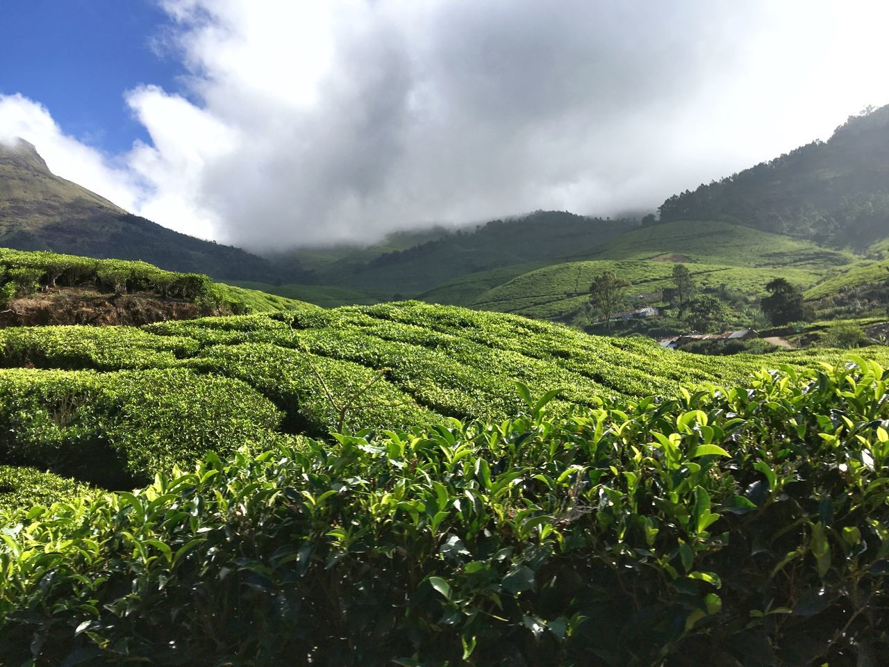 Tea Tea Plantation  Tea Plantations Tea Plant Tea Is Healthy Tea Plantation @ Kerala Kerala India Nature