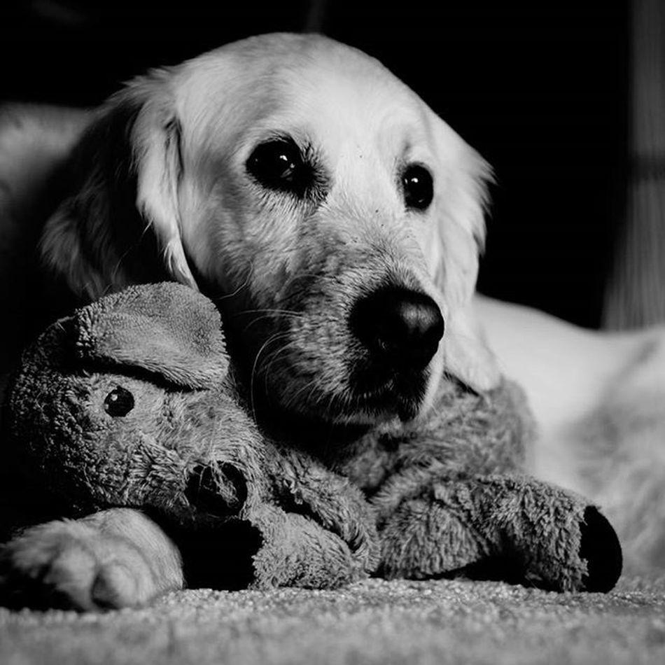 """Cuddly toy"" Instalike Instagramhub Instagood Fotografie Picoftheday Photography Photowall_daily Dogsofinstagram Dog Blackandwhite Bw Ig_animals Pet Animal Sonyalpha"
