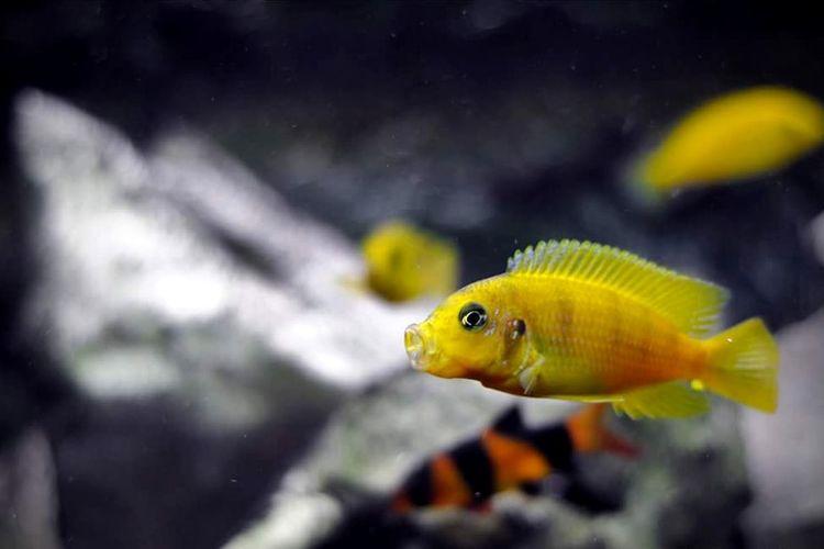 Fish Aquarium Underwater Water Malawi Cichlid Aquarium Life Animal Nature Fish Photography