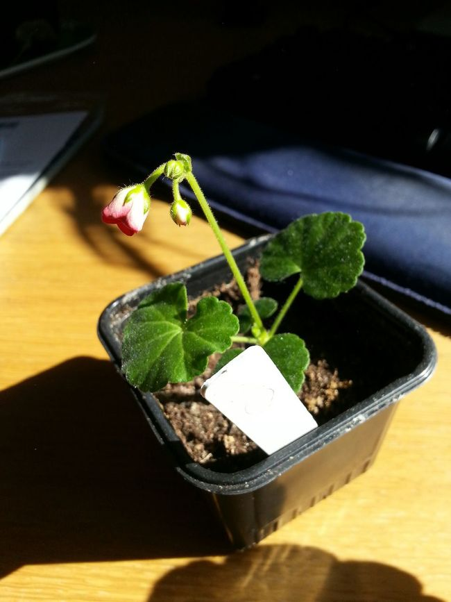Geranium Little Lady  Pelargonium Flowers Flower