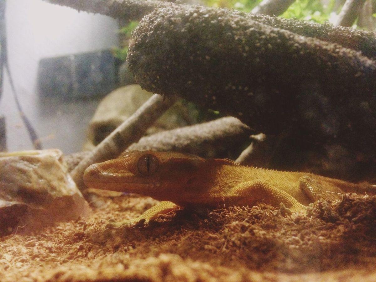 Kronenkopfgecko Reptiles Reptile Eye Brown Gecko Kronenkopfgeck