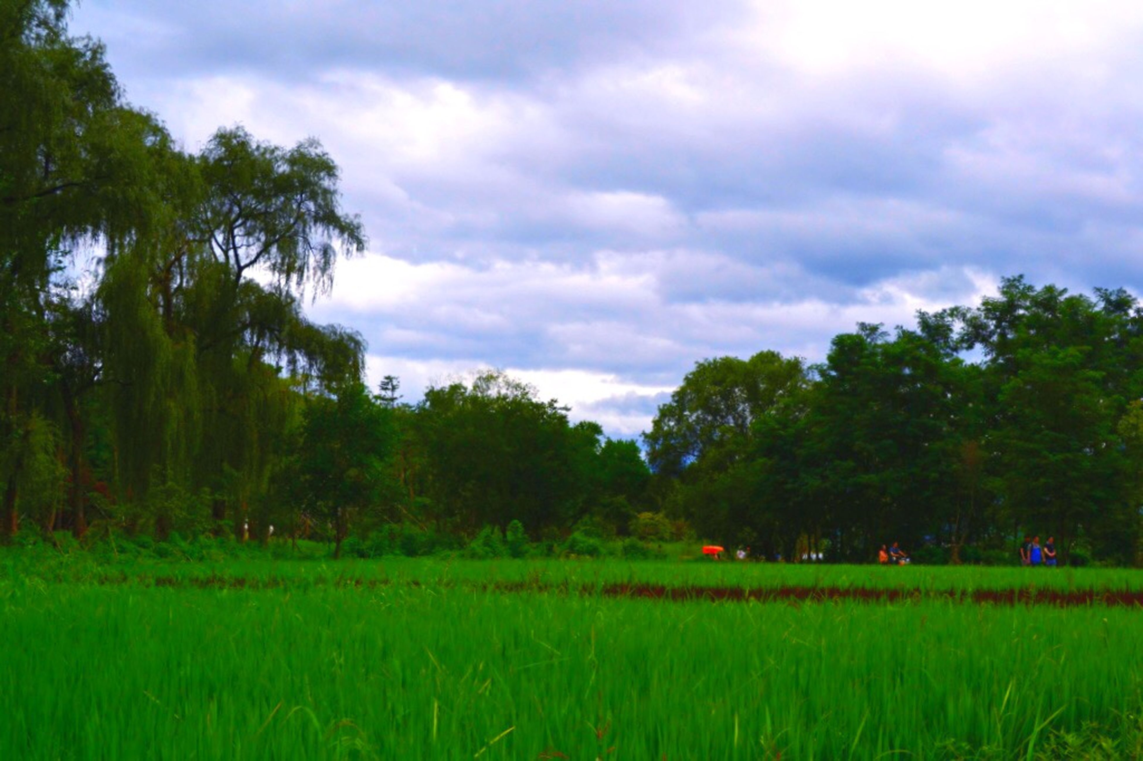 tree, sky, field, tranquil scene, grass, landscape, tranquility, growth, green color, cloud - sky, cloudy, beauty in nature, scenics, nature, rural scene, agriculture, grassy, cloud, farm, crop
