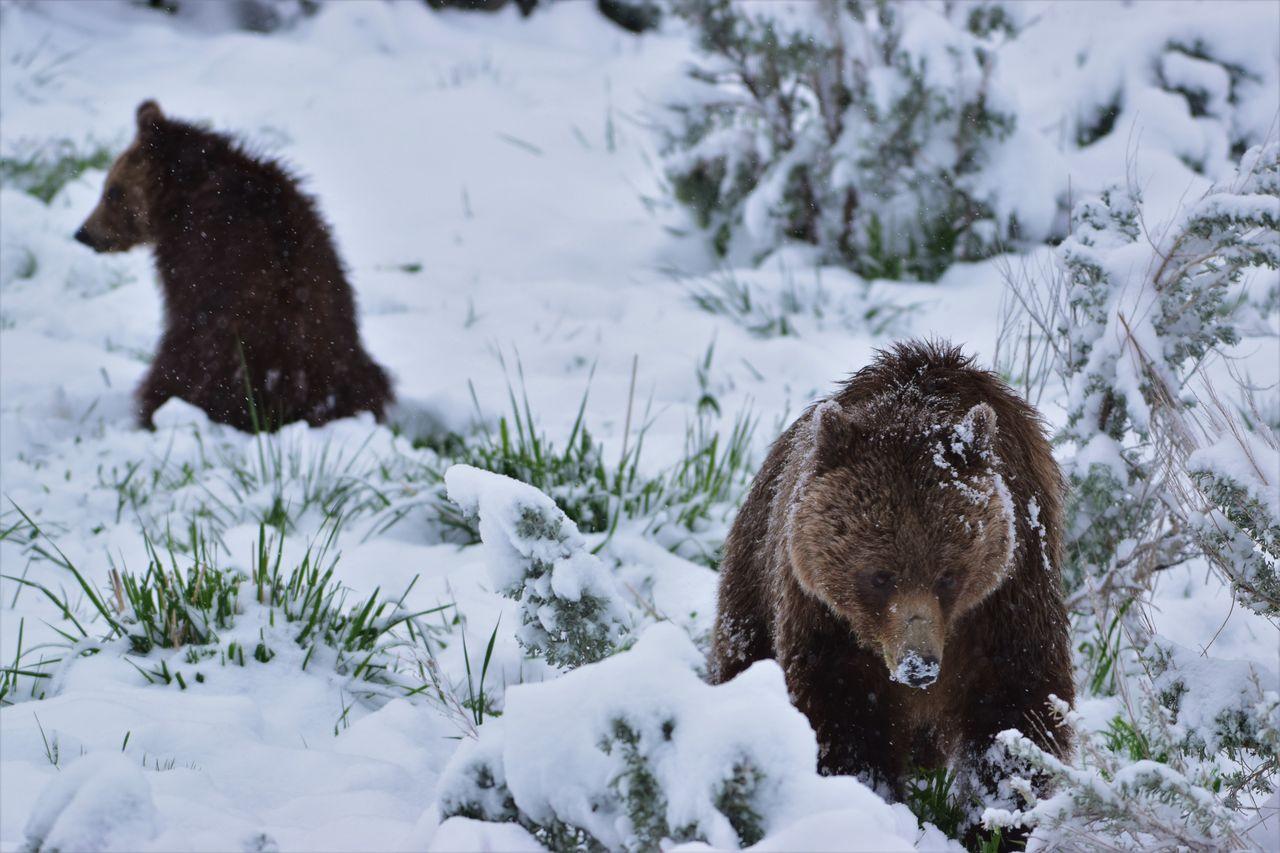 Bear Cub Bears Grizzly Bear Grizzly Cub Lamar Valley Mama Grizzly Wildlife