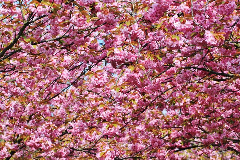 Berlin Kirschblüte Backgrounds Beauty In Nature Blossom Blüte Blütenzauber Botany Day Flower Flower Head Fragility Freshness Growth Nature No People Outdoors Pankow Pink Color Springtime Tree