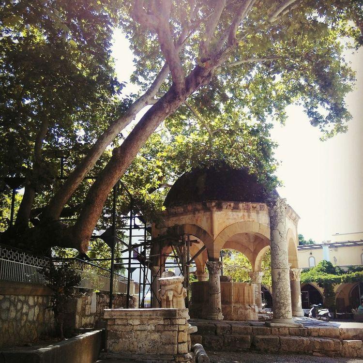 Hippocrates Tree Kos City Beauty Buttonwood Trip