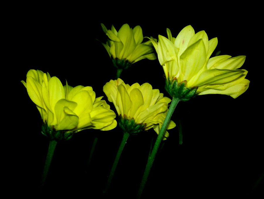 Nature In The Night Yellow In Bloom Scenics Flowers Flower Head Black Background Blossom Beauty In Nature Macro Growth Plants 🌱 Nature Selective Focus Plant Life Springtime Outdoors Flower Huawei Shots Huawei Y5