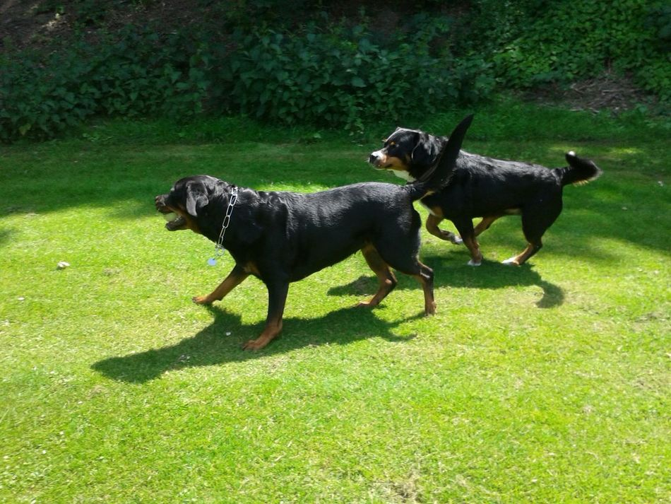 Beautiful stock photos of rottweiler, Adult Animal, Animal Themes, Ball, Black Color