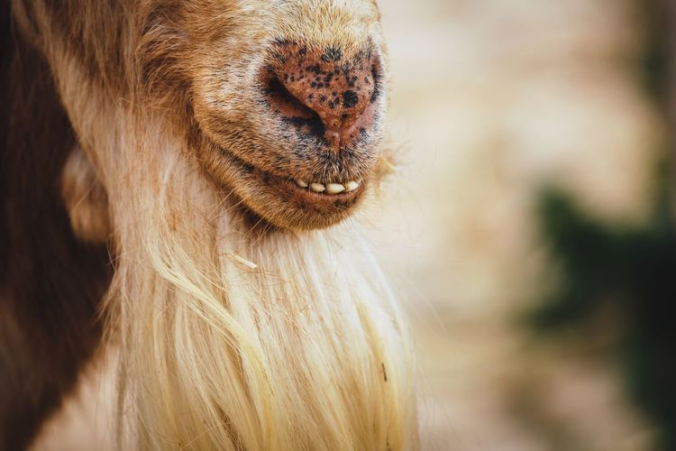 Malagueña Goat Goat Animal Portrait Teeth Smile FUNNY ANIMALS Spanish Goats Nature EyeEm Nature Lover Connected With Nature Getting Inspired Farm Rural Scene