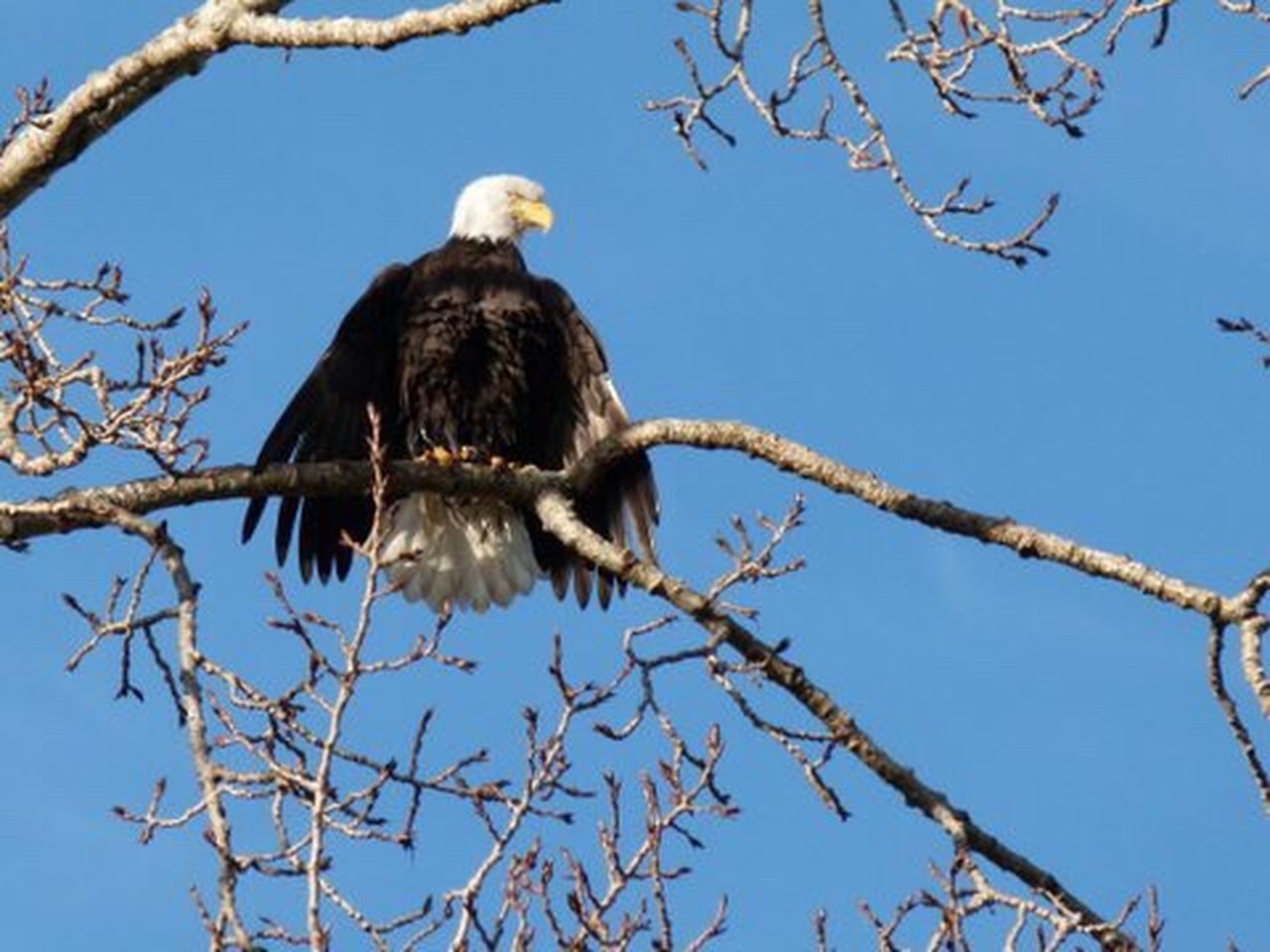 Majestic Bald Eagle. Drying off after salmon fishing