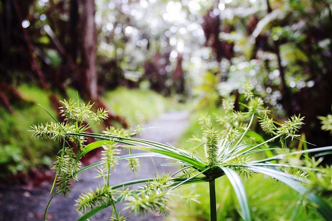 Hawaii Big Island Hawaii Volcanoes National Park Outdoors Beauty Of Nature Beauty In Nature Nature EyeEm Nature Lover Green Color Green Lush Green Rainforest Freshness Plant Ecology Ecosystem