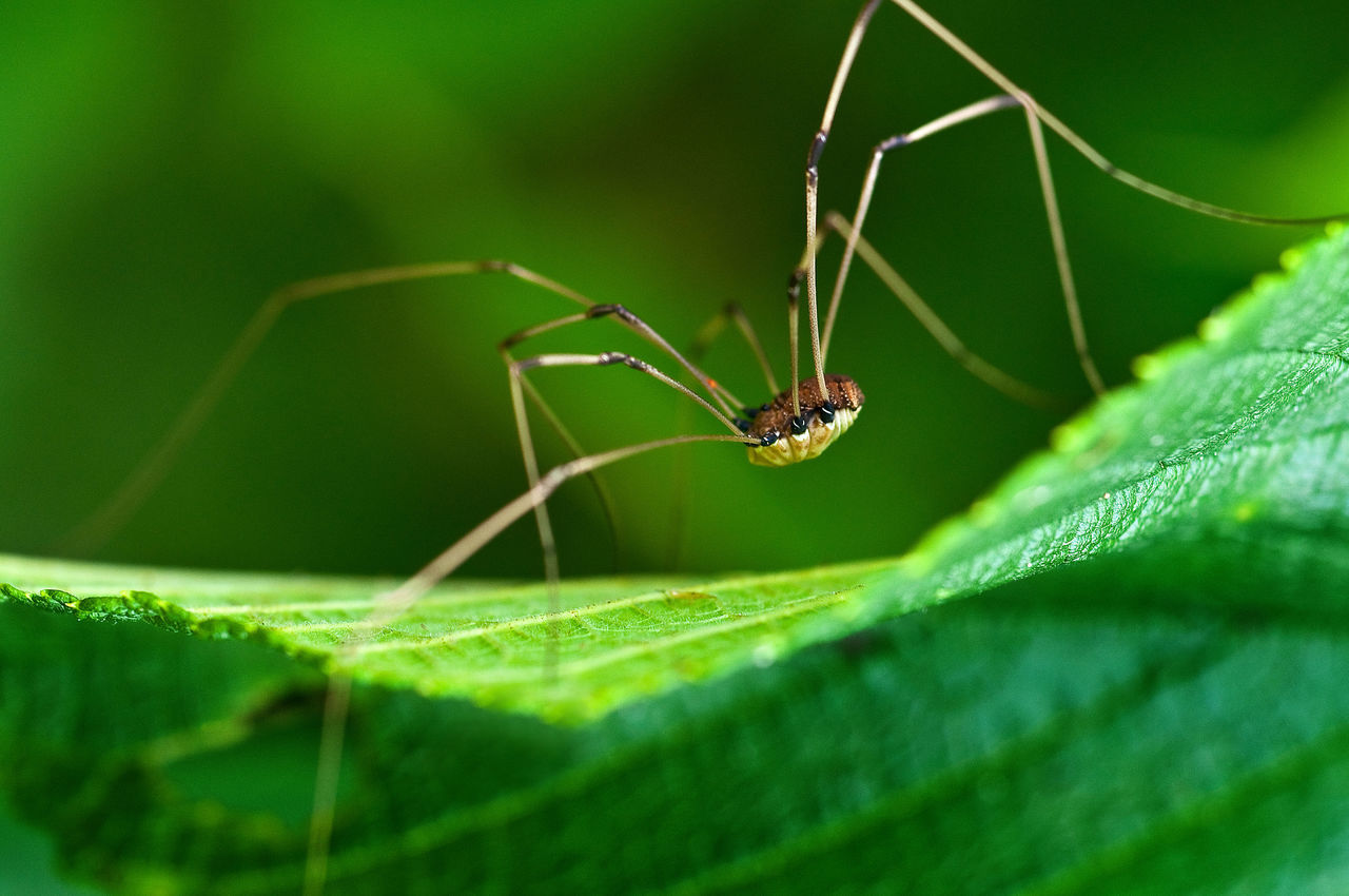 Animal Themes Beauty In Nature Close-up Day Focus On Foreground Grandaddy Long Leg Green Green Color Growth Insect Leaf Nature No People Outdoors Plant Selective Focus Spider Wildlife