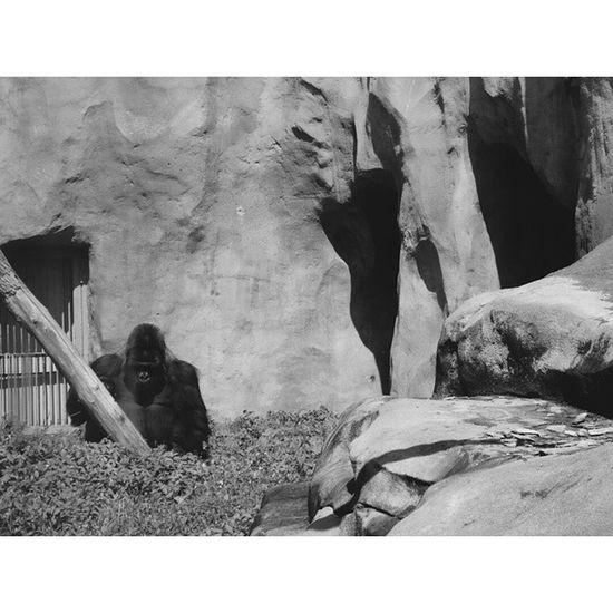 горилла примат зоопарк лето жара нашел Классный фильтр Gorilla Primacy Zoo Summer Heat Found Cool Filter VSCO Instasize Monochrome