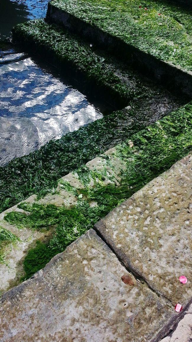 Venice, Italy Seaweed near Grand Canal Canale Grande Rialtobridge