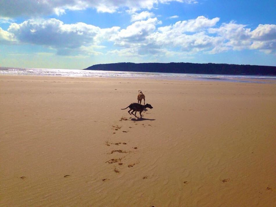 First time on the beach for my rescued whippet. Kiomi Collection Oxwich Swansea Dogs On The Beach Sand Sea Sky Sand Sea And Sun The Essence Of Summer- 2016 EyeEm Awards 43 Golden Moments Two Is Better Than One