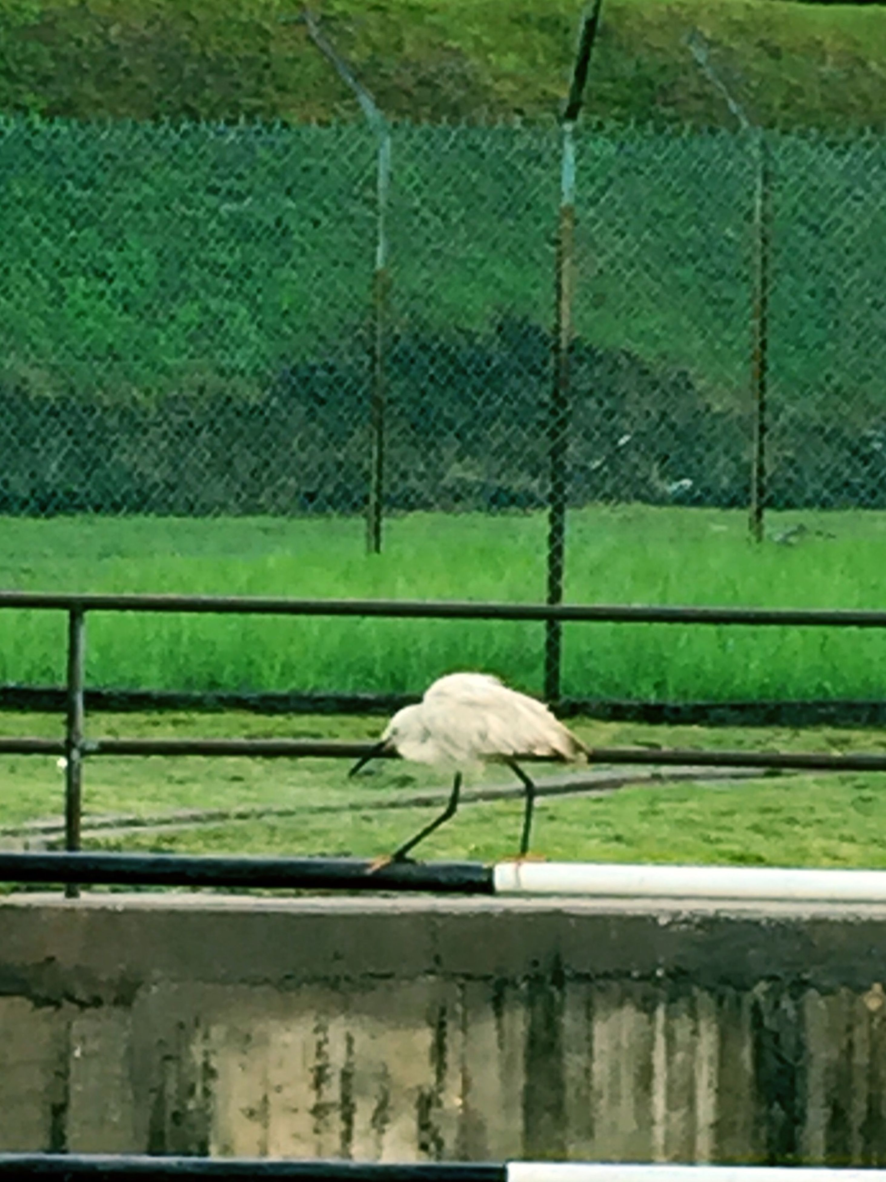 animal themes, bird, animals in the wild, wildlife, one animal, fence, green color, perching, full length, nature, grass, side view, outdoors, white color, no people, day, beak, railing, zoology, beauty in nature
