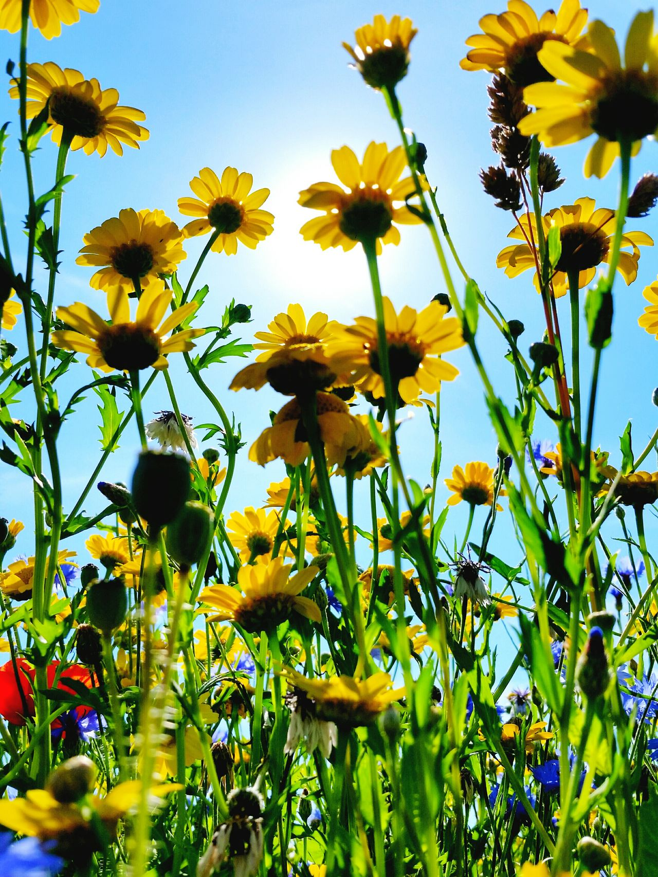 Beauty In Nature Yellow Fragility Flower Head Low Angle View Looking Up! Wildflowers Flower Nature Outdoors Summer Colours On The Verge