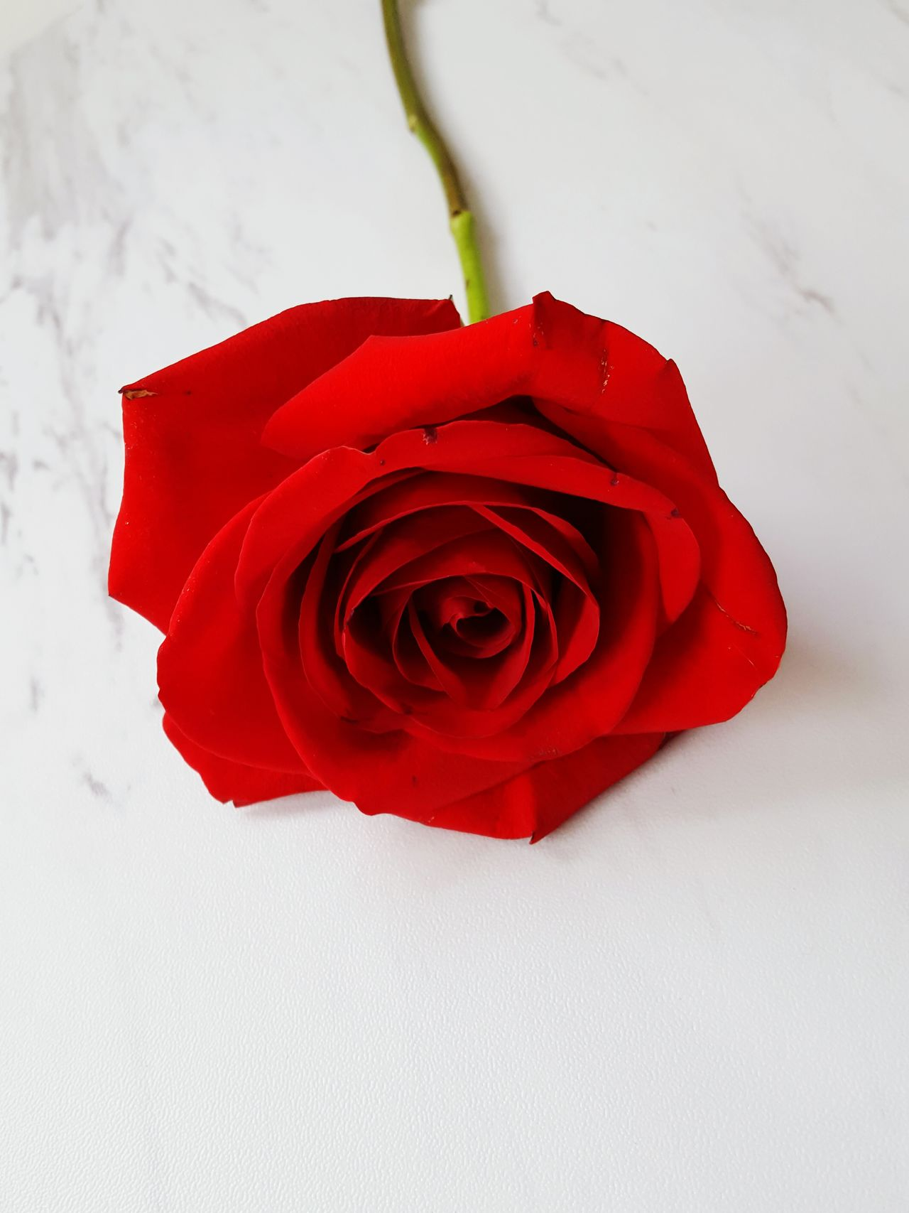 Red Rose - Flower Flower Romance Flower Head Petal Fragility No People Freshness Close-up Nature Indoors  Day Beauty Tranquility Beauty In Nature Marble