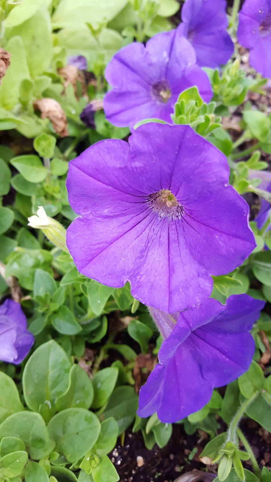 Nature's Diversities Colors Of Nature Spring 2016 Petals🌸 Beautiful Colors Petalsandbuds Garden_styles Purple Flowers