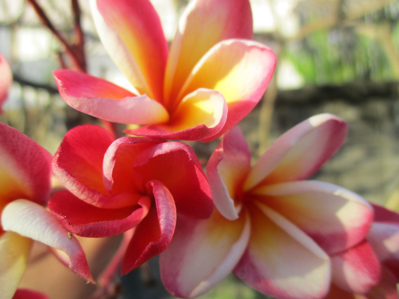 flower, petal, nature, beauty in nature, flower head, fragility, freshness, growth, blooming, close-up, no people, day, outdoors, red, plant, frangipani