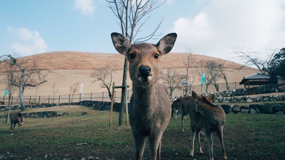 Deers in nara park Animal Themes Sky Field Outdoors Grass Nature Landscape Deers Japan Nara OSAKA Nara,Japan Nara Park Cute Nature Photography Natural Area