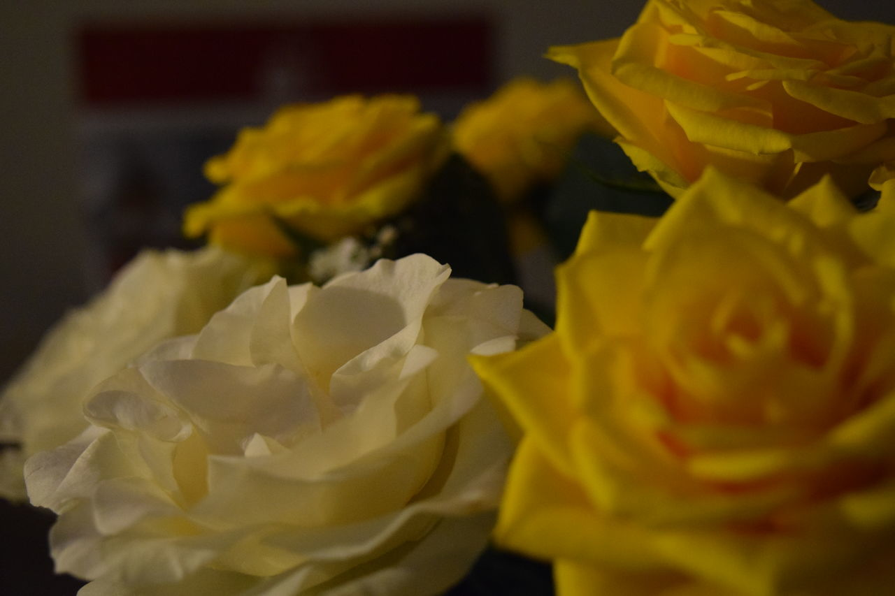 Beauty In Nature Close-up Flower Flower Head Fragility Indoors  Nature No People Petal Rose - Flower Selective Focus Yellow Yellow Flower Yellow Rose