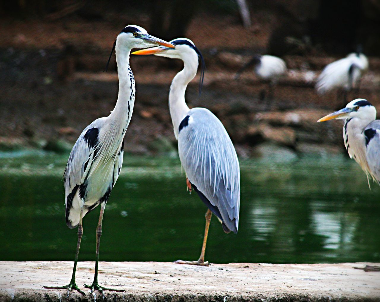 bird, animal themes, animals in the wild, heron, animal wildlife, nature, day, gray heron, focus on foreground, no people, beauty in nature, outdoors, water, crane - bird, perching, close-up