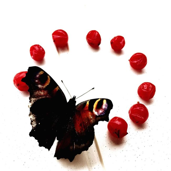 TakeoverContrast White Background Red High Angle View Freshness Temptation Butterfly Dead Animal Delicate Beauty In Nature