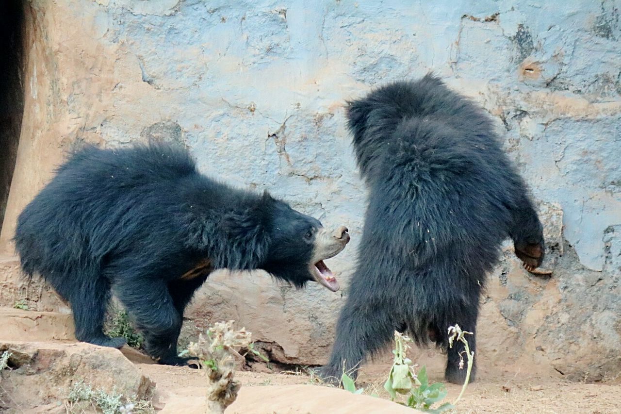 Bears Bear Bear Family❤ Bear Playing Playing Bear Life Chance Encounters Bhubaneswar,india Bhubaneswar Nandankanan Nandankanon My Year My View